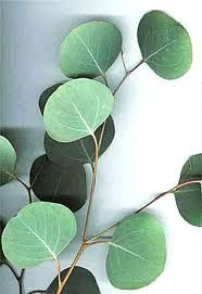 eucalyptus leaves - round. Add to bouquets and flower displays