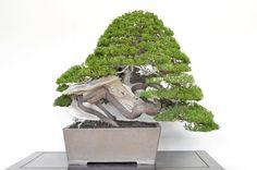 Juniperus, Bjorn Bjorholm