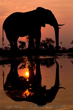 "LOVE elephants ""At an African waterhole I waited for the moment when a kudu passed behind an elephant to frame both as examples of different mammalian forms."" frans lanting"