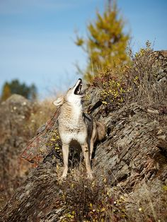 Coyote | Flickr - Photo Sharing!