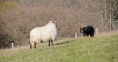 En el artículo de este mes vamos a mostrar una de las funciones caninas más antiguas que se conocen: el pastoreo con perros. Si nos remontamos miles de años atrás, a tiempos muy remotos, cuando el ser humano aprendió que era más cómodo integrar a su grupo ciertas clases de animales, que salir a cazarlos. Ahí nació la ganadería, que juntó con la agricultura, un avance trascendental en la evolución de la humanidad.