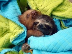 Two toed sloth huging his three toed finger brother!