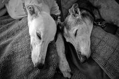 Sadie and Katie snuggle | Shutterhounds (c) S. Uyehara #greyhounds