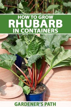 Why not try growing rhubarb in containers for a sweet, tart harvest of juicy stalks perfect for pie? Get the full growing guide now on Gardener's Path. Growing Veggies, Growing Tomatoes, Growing Plants, Gardening For Beginners, Gardening Tips, Gardening Books, Growing Rhubarb, Growing Roses, Rhubarb Plants