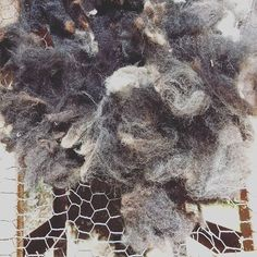 Picking fleece on a gerry-rigged set-up #wool #spinwool #dirtyfleece