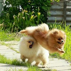 Delightful Comical And Sweet Pomeranian Ideas. Charming Comical And Sweet Pomeranian Ideas. Cute Baby Animals, Animals And Pets, Funny Animals, Cute Dogs And Puppies, I Love Dogs, Doggies, Cute Pomeranian, Pomes, Fluffy Dogs
