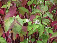 Cornus sericea ssp. stolonifera (Red-Osier Dogwood)