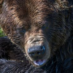Nick Didlick photo of a grizzly bear close up