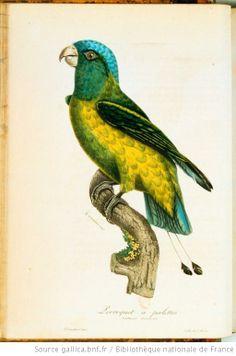 [Illustrations de La Galerie des oiseaux] / P. Oudart, dess.; G. Engelmann... [et al.], grav. ; L.P. Vieillot, aut. du texte - 27