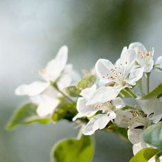 nature photography apple tree flowers photography by bialakura