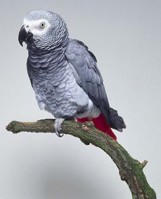 The bird I want, but may never get, as the wife is NOT keen on Parrots...she may be able to handle a parakeet or budgie at some point, but insists that no parrot come in the house...maybe I can persuade her some day.