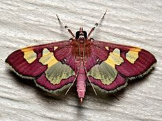 National Moth Week 2019 Breaks Records with Nearly Events in 46 Countries and All 50 U. Cool Insects, Bugs And Insects, Beautiful Bugs, Beautiful Butterflies, Paper Butterflies, Animal Original, Cute Moth, Colorful Moths, Moth Tattoo