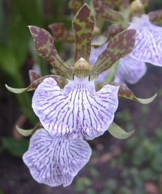 Características y cultivo de la orquídea Zygopetalum maculatum