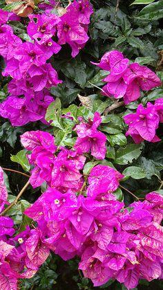 Flores de Buganvil, Colombia por cayisn by cayisn, via Flickr