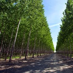 The Hybrid Poplar grows at a record speed into a beautiful pyramidal form that is a favorite of many! Add this tree to your landscape for exceptional results Best Trees For Privacy, Privacy Trees, Hybrid Poplar Tree, Fast Growing Shade Trees, Trees Online, Garden Spaces, Hedges, Shrubs, Woodland