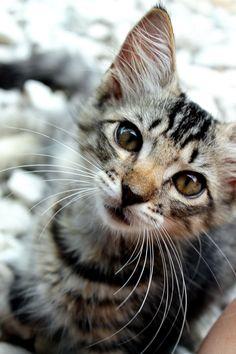 Cat kitten adorable gorgeous love Via Angela Axiarlis