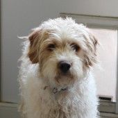 Don Jose (Labradoodle X) - Val & I picked up from Therisa Ingley with SOAPS in Macon on 4/4/2015.