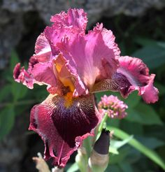 TB Iris germanica 'Se Seque' (Muska, 1996)