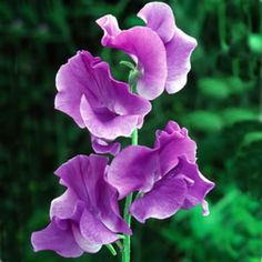 SWEET PEA 'OXFORD BLUE' SEEDS