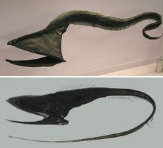 Dark Roasted Blend: Odd-Looking Marine Animals Deep Sea Creatures, Weird Creatures, Weird Fish, Creature Drawings, Underwater Life, Deep Sea Fishing, Deep Blue Sea, Marine Biology, Sea Monsters