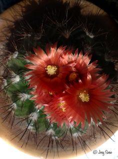 Cactacea in fiore