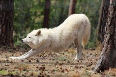 downward dog - wild wolf