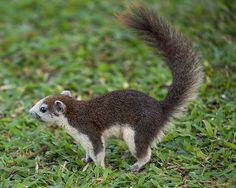 Variable Squirrel or Finlayson's Squirrel (Callosciurus finlaysonii). Chatuchak Park, Chatuchak, Bangkok, Thailand,
