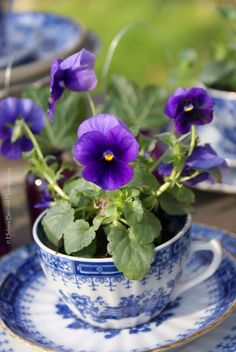 Violets in a beautiful blue cup and saucer. Planting flowers in tea cups makes me happy. A small joy!
