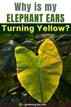 Here are the main reasons why your elephant ears are turning yellow. Follow these tips to prevent it from happening. #elephantears #Yellowleaves Elephant Ear Plant, Elephant Ears, Growing Veggies, Growing Plants, Root Structure, Yellow Leaves, Plant Needs, What You Can Do, Plant Care