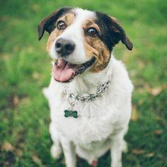 💚TOMAS💚 es lindo 😘juguetón🐾💓 y un súper coqueto 🤩 consentido😜 @tomas_y_mateo_criollos . Algunos perros criollos tienen las patas largas, otros poseen extremidades más cortas, pero todos tienen un extraordinario sentido de la orientación e inteligencia y pasan con mucha destreza los puentes peatonales. Dogs, Pedestrian Bridge, Bridges, Cute, Pets, Animales, Pet Dogs, Doggies