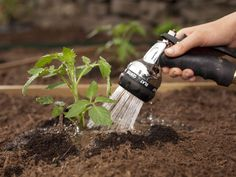 Watering tomatoes when planting and just after: what you need to know - Tomaten Spring Garden, Lawn And Garden, Organic Gardening, Gardening Tips, Container Gardening, Watering Tomatoes, Tomato Seedlings, Unique Gardens, Growing Tomatoes