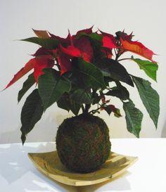 #Kokedama #Poinsettia #Estrela de Natal #Red #Vermelho