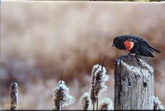 http://www.artcountrycanada.com/images/haley-red-winged.jpg