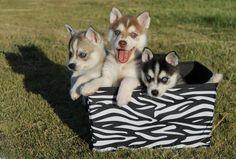 Alaskan Klee Kai, AKK, Puppies, Mini Husky