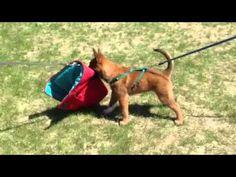 Red star Malinois puppy