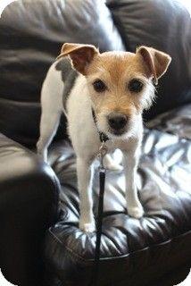 Santa Rosa, CA - Jack Russell Terrier. Meet Casey, a dog for adoption. http://www.adoptapet.com/pet/10893258-santa-rosa-california-jack-russell-terrier