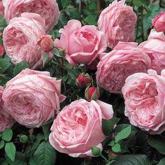 'Spirit of Freedom' | Fragrant English Rose. David C. H. Austin, 1998