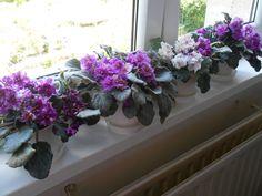Moje fialky v kuchyni 2016