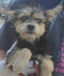 jasper is an adoptable Yorkshire Terrier Yorkie Dog in Houston, TX. FOR MORE INFORMATION ON THIS DOG PLEASE VISIT OUR WEB PAGE www.houstonshaggydogrescue.org all of our dogs are neutered/spayed.. micr...