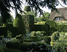Rosa `Grunan Aachen', campanula and Tropaeolum speciosum nestling among the topiary, surrounded by clipped hedges and overlooked by a thatched cottage