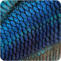 Photo about Close-up on a fish skin - blue Siamese fighting fish - Betta Splendens in front of a white background. Image of siamese, fresh, abstract - 7645883 Natural Structures, Natural Forms, Natural Skin, Natural Beauty, Patterns In Nature, Textures Patterns, Art Patterns, Foto Macro, Motif Art Deco