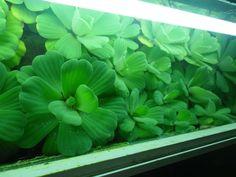 Annons på Tradera: 10 st stora musselblommor flytväxt akvarieväxt