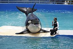 This is Lolita-the world's loneliest orca. She lives in a undersized, cramped tank in the Miami Seaquarium. Even worse, she is by herself, with no other orcas to interact with. Killer whales are highly social and need other whales to stay healthy. Please, let Lolita return to her home in the wild.