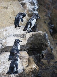Galapagos Penguins (Spheniscus Mendiculus), Isla Isabela, Galapagos Islands, Ecuador