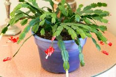 Christmas cactus (Schumbergera bridgesi) is a departure from the stereotypical prickly, sun-loving, dry weather, desert plant, as Christmas cactus is tropical and has different...