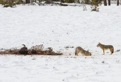 Coyotes on bison carcass in Lower Geyser Basin; Jim Peaco; November 17, 2015; Yellowstone National Park, Wyoming (pinned by haw-creek.com)