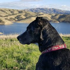 Silently observing at Del Valle Regional Park - Livermore, CA - Angus Off-Leash #dogs #puppies #cutedogs #dogparks #livermore #california #angusoffleash