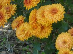 How long do chrysanthemums last? It's a good question, and one that often comes up in the fall, when garden centers are full of beautiful, flowering pots of them. Learn about the lifespan of mums in this article.