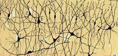 Santiago Ramón y Cajal. Capas 1ª y 2ª de la corteza olfativa de la circunvolución del hipocampo   del niño, n. 1901. © Herederos de Ramón y Cajal