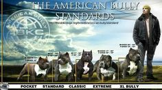 American Bully Standards